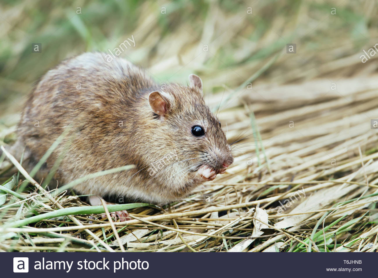 Close-up of a rat feeding in the field. - Stock Image