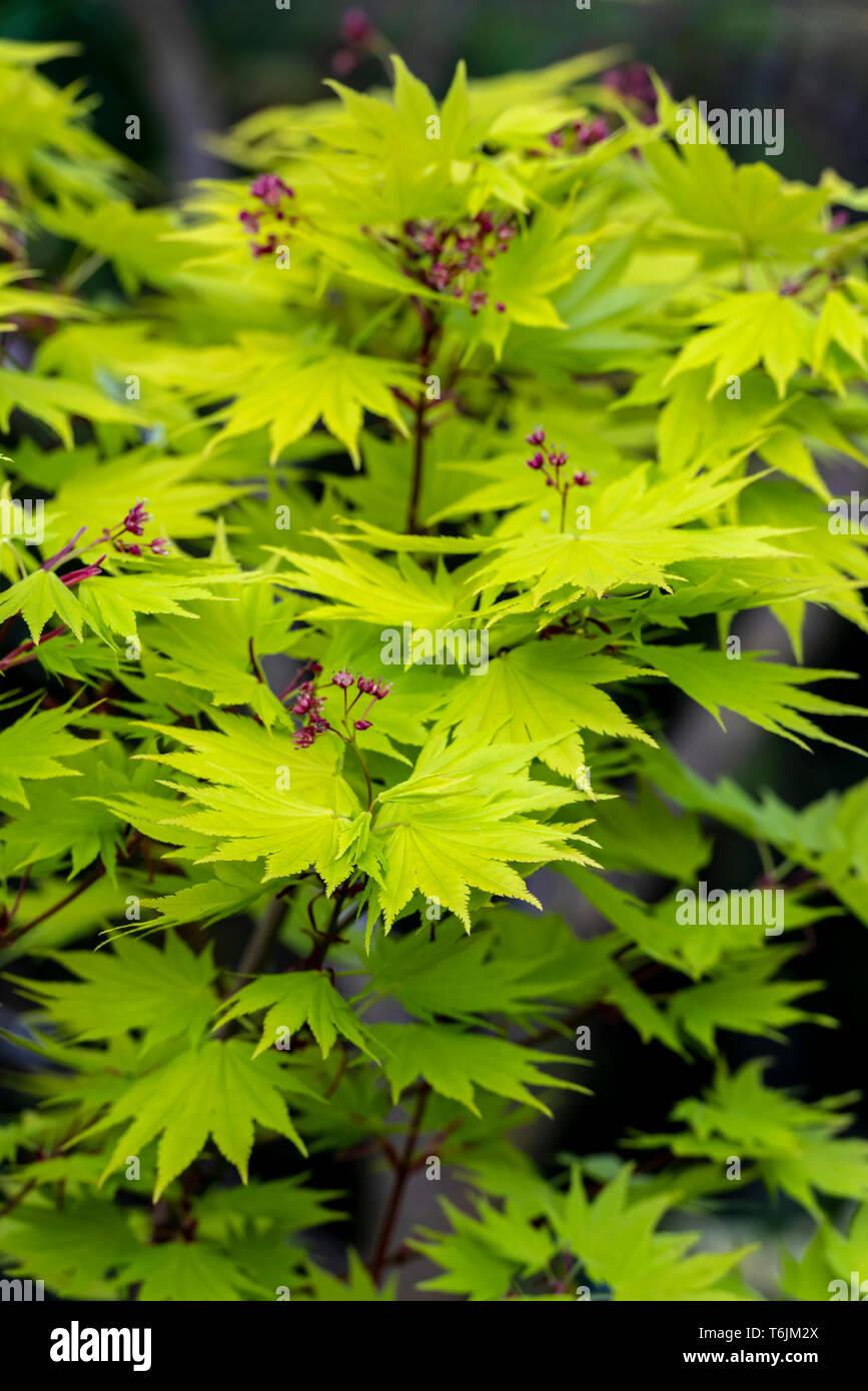 Japanese Maple Aureum Stock Photos Japanese Maple Aureum Stock