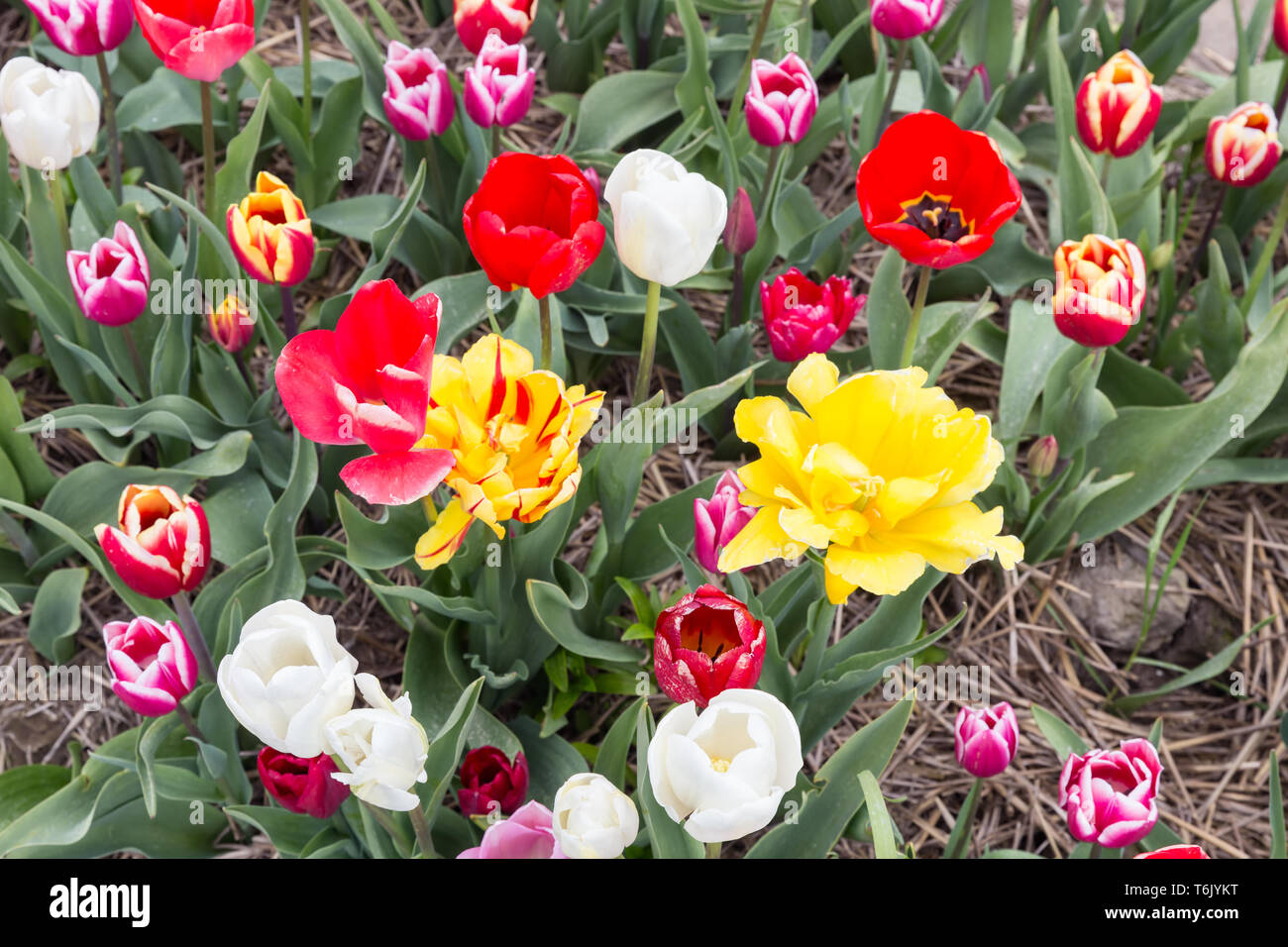 Top view of beautiful varicolored tulips - Stock Image