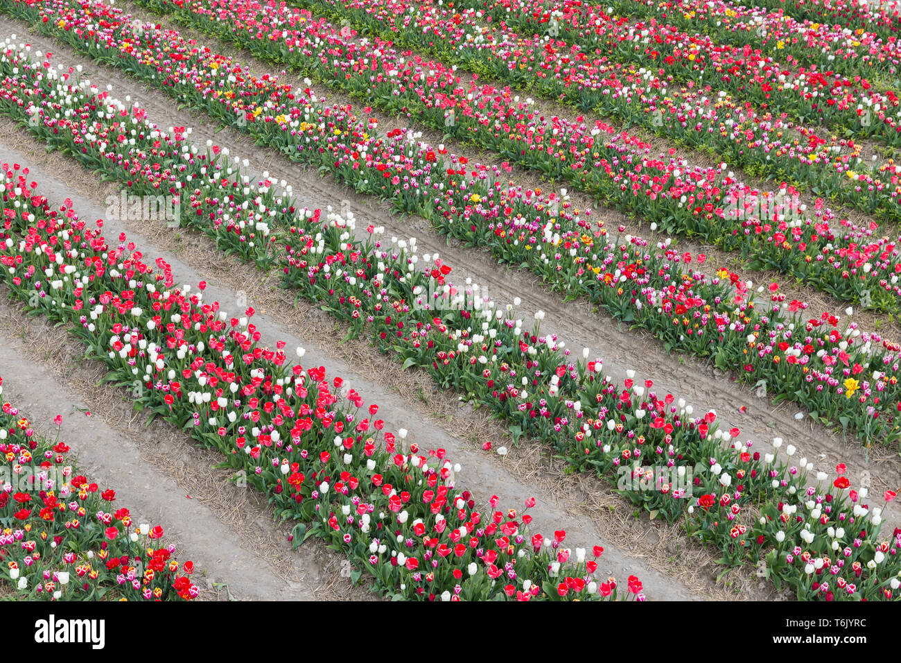 Dutch show garden with lines of varicolored tulips - Stock Image