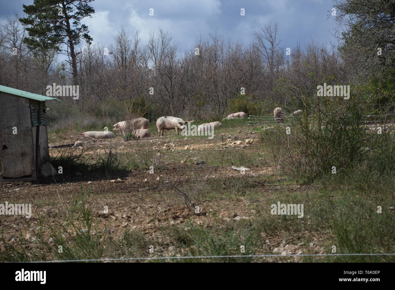 Pigs in their surroundings ( south of france ) - Stock Image