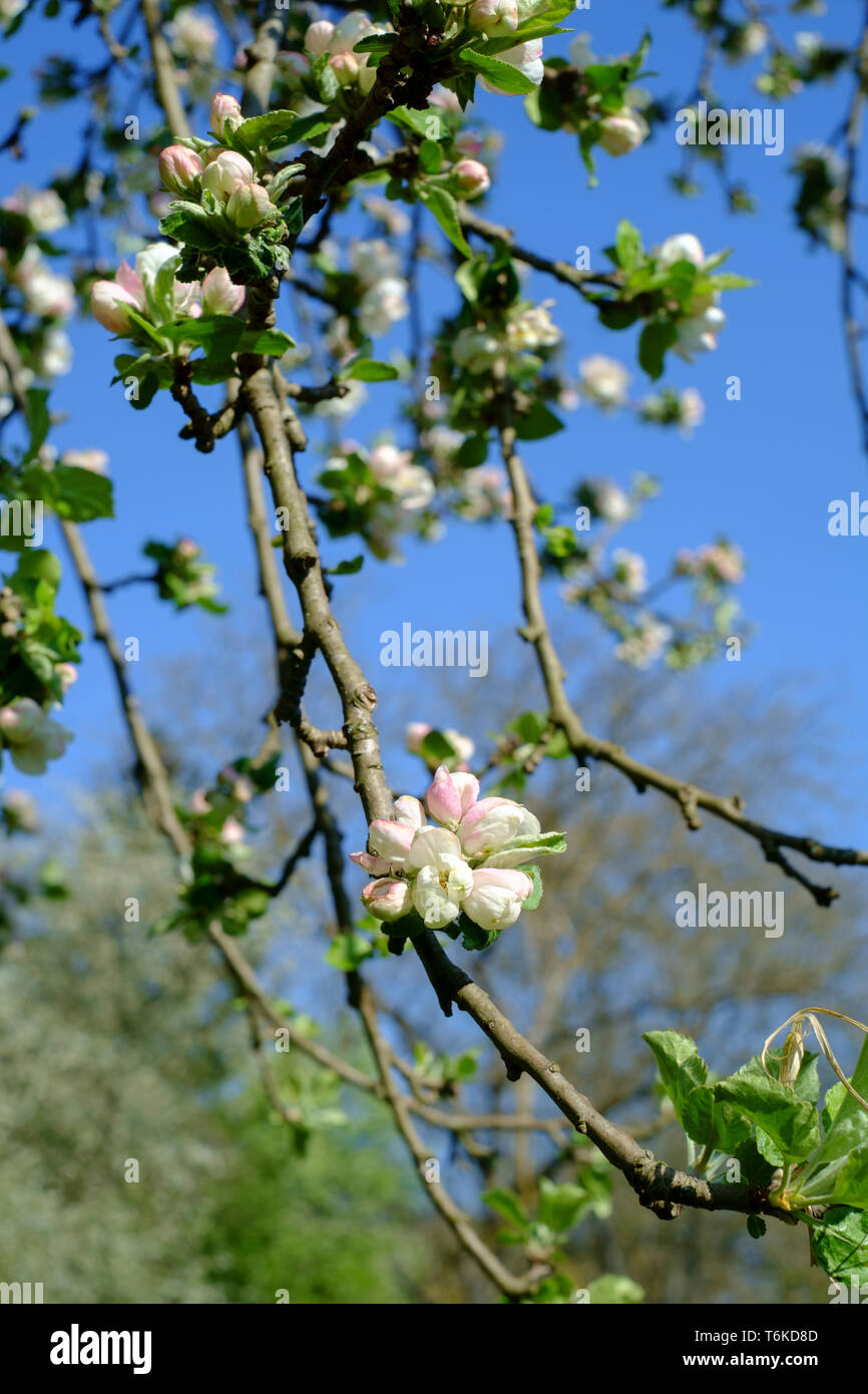 white and pink blossom growing on an apple tree malus pumila in an overgrown garden zala county hungary Stock Photo