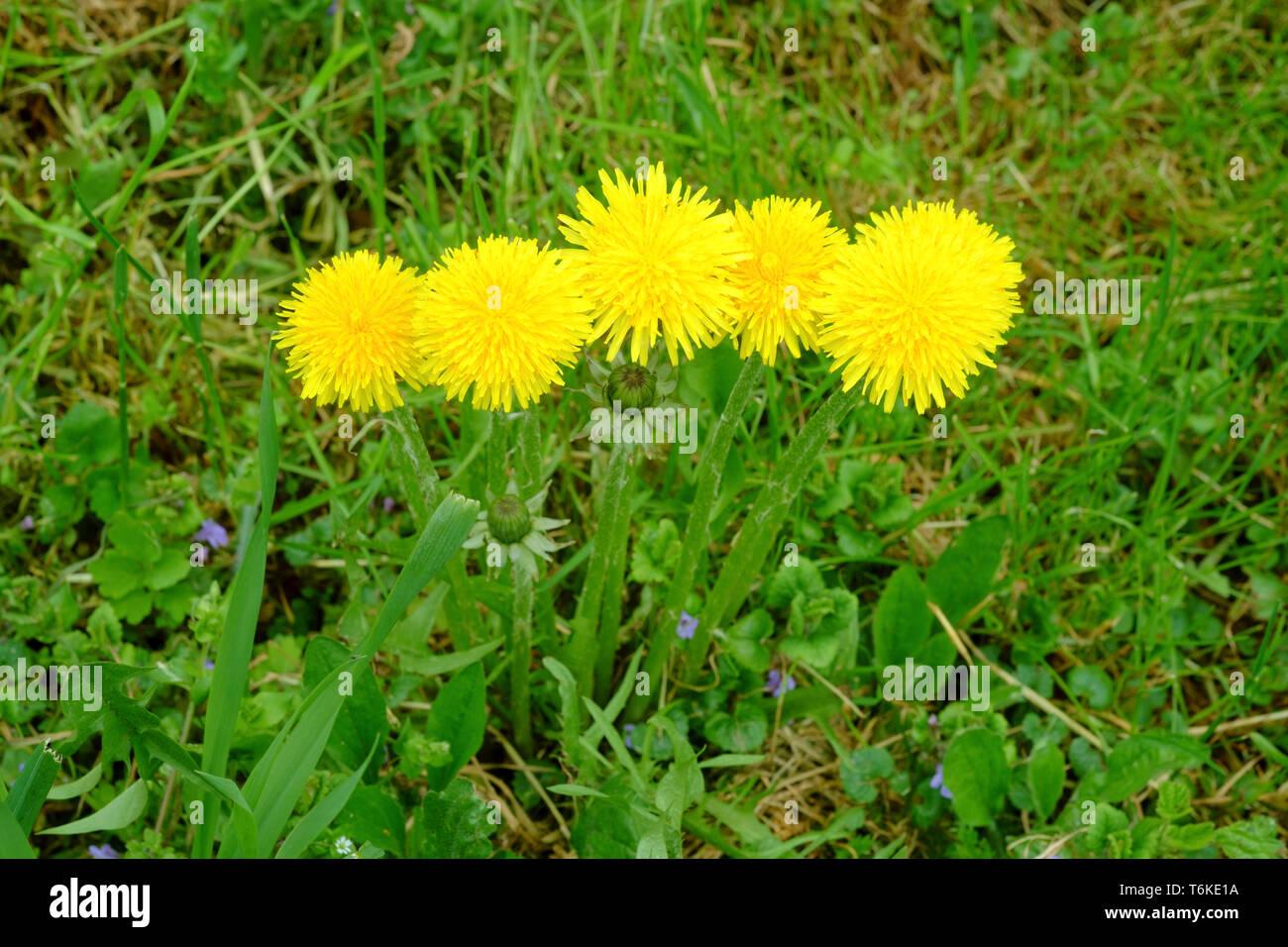 bright yellow dandelions taraxacum officinale growing in a rural garden zala county hungary Stock Photo
