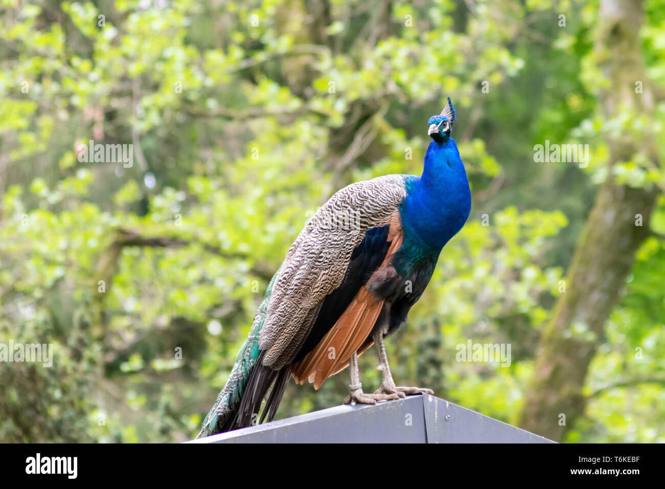 Beautiful blue peacock sitting on a roof looking for a partner to impress - Stock Image