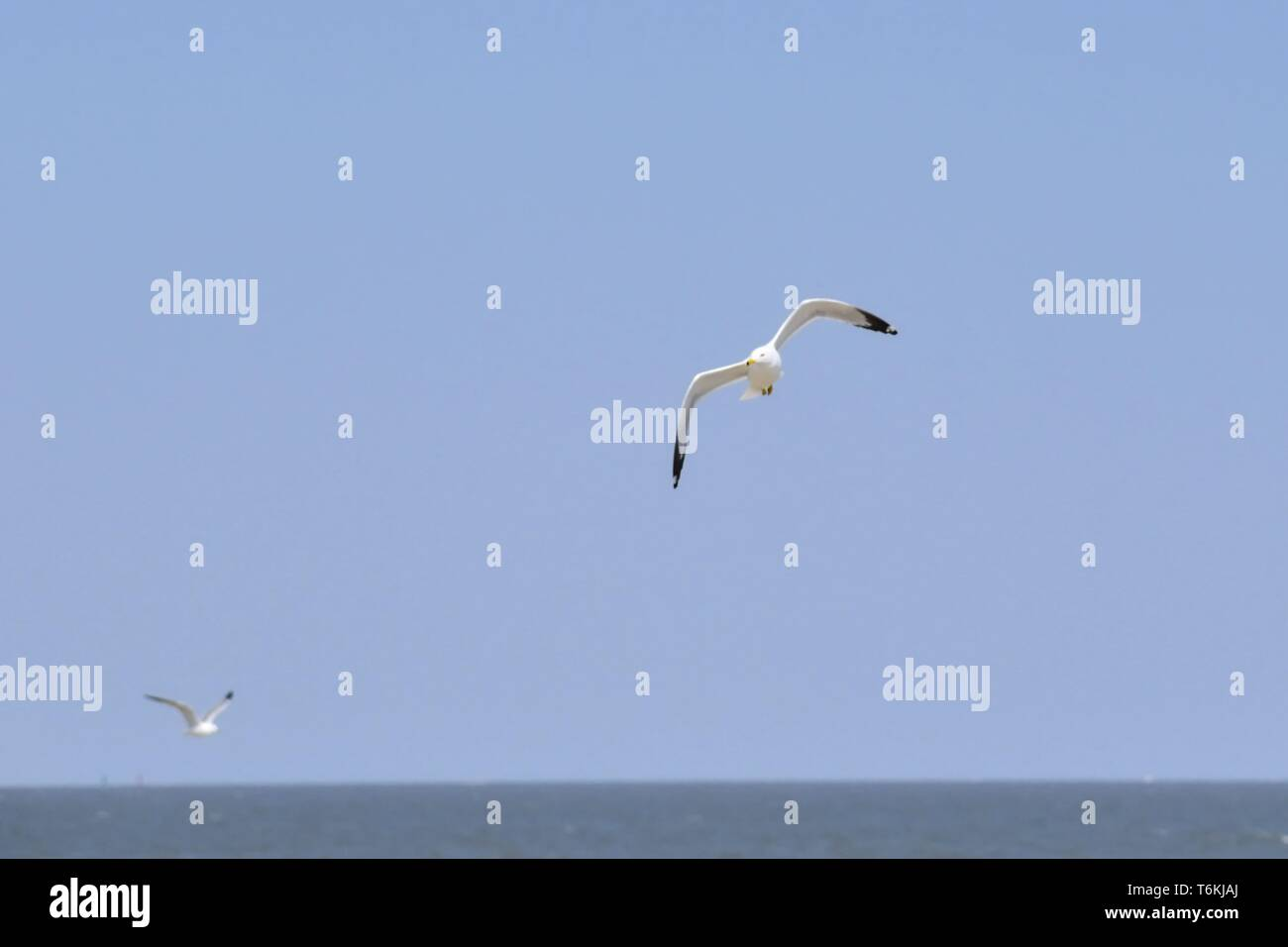 Pair of seagulls flying high over a calm ocean. - Stock Image