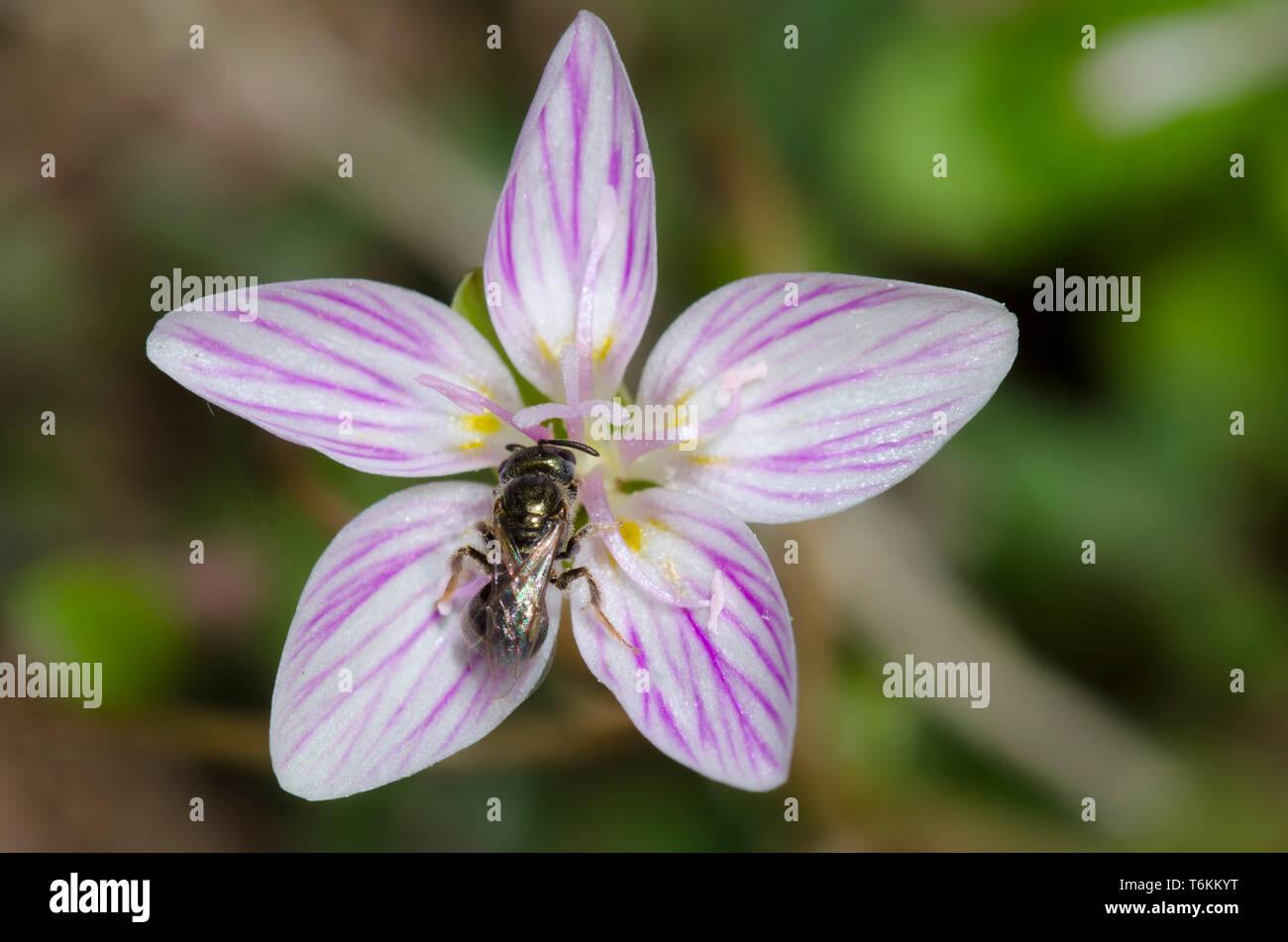 Sweat Bee, Lasioglossum sp., on Spring Beauty, Claytonia virginica - Stock Image