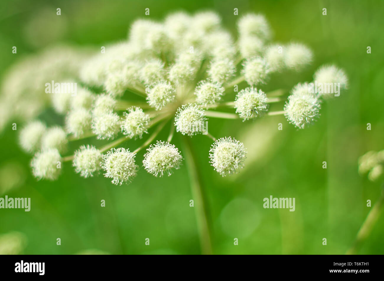 Angelica plan, umbelliferae  bloom Stock Photo