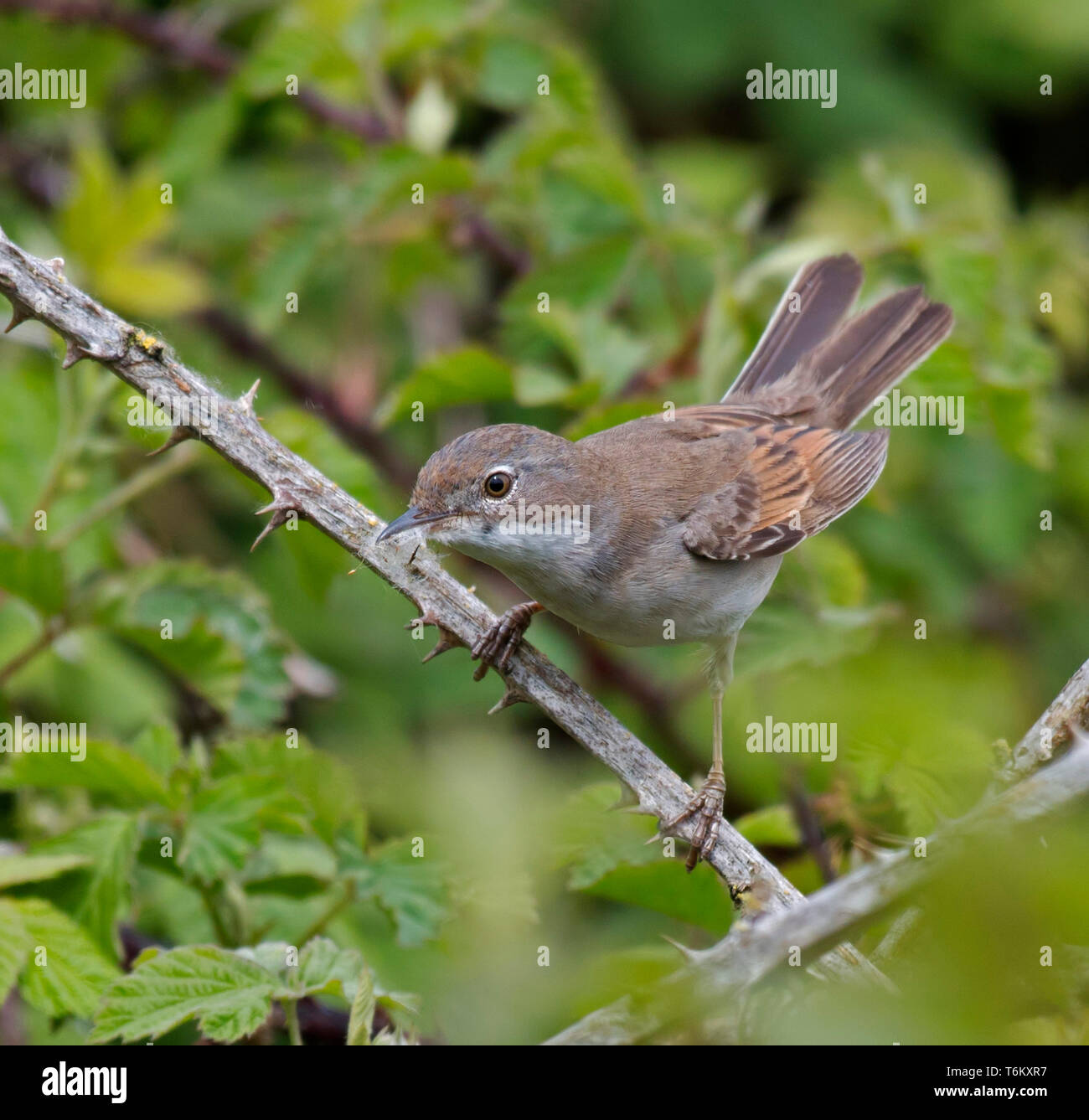 White, Throat, At, Lunt, Meadows, Liverpool Stock Photo