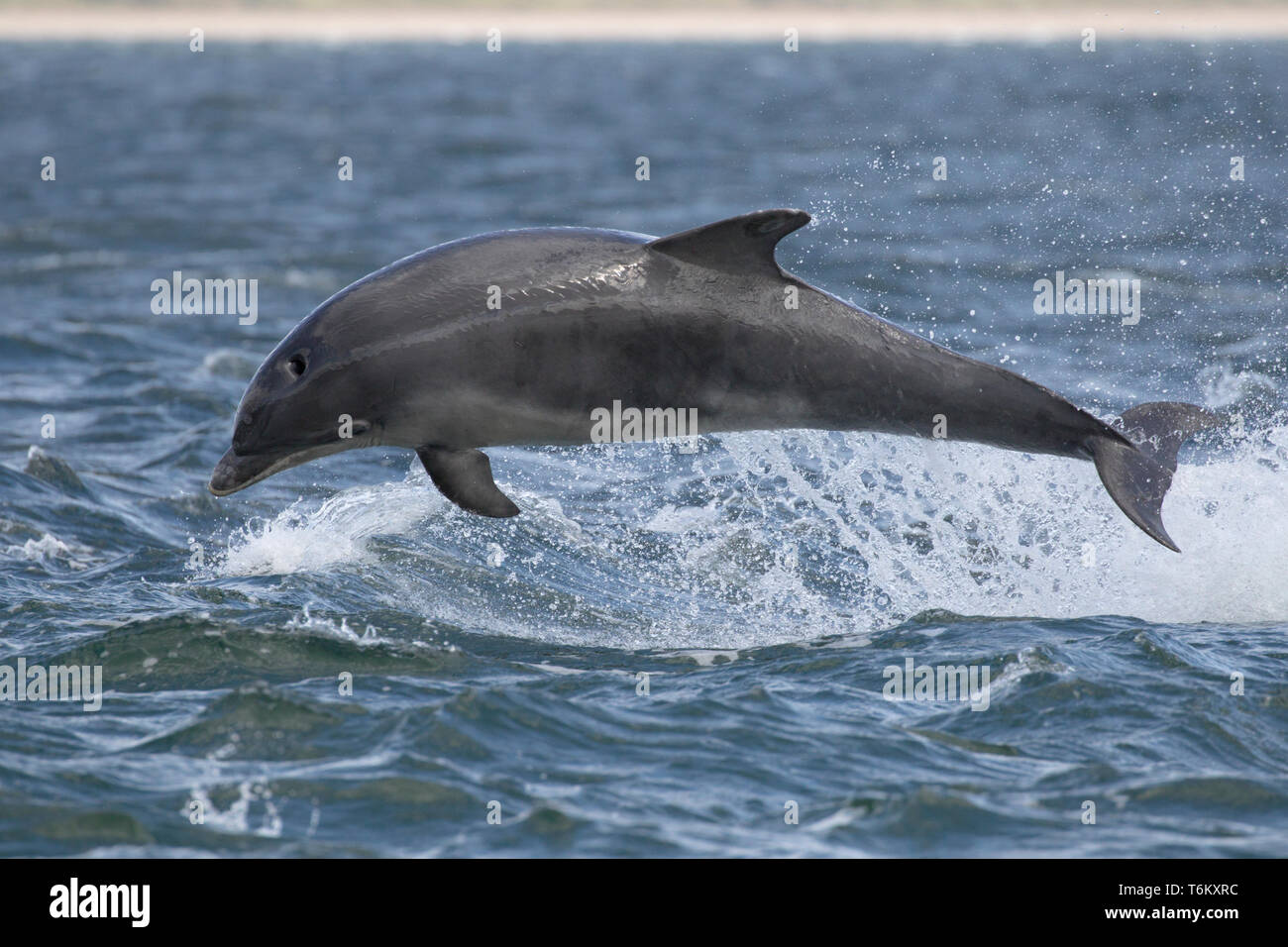 Bottlenose dolphin (Tursiops truncatus) leaping/breaching in the Moray Firth, Chanonry Point, Black Isle, Scotland, UK, Europe - Stock Image