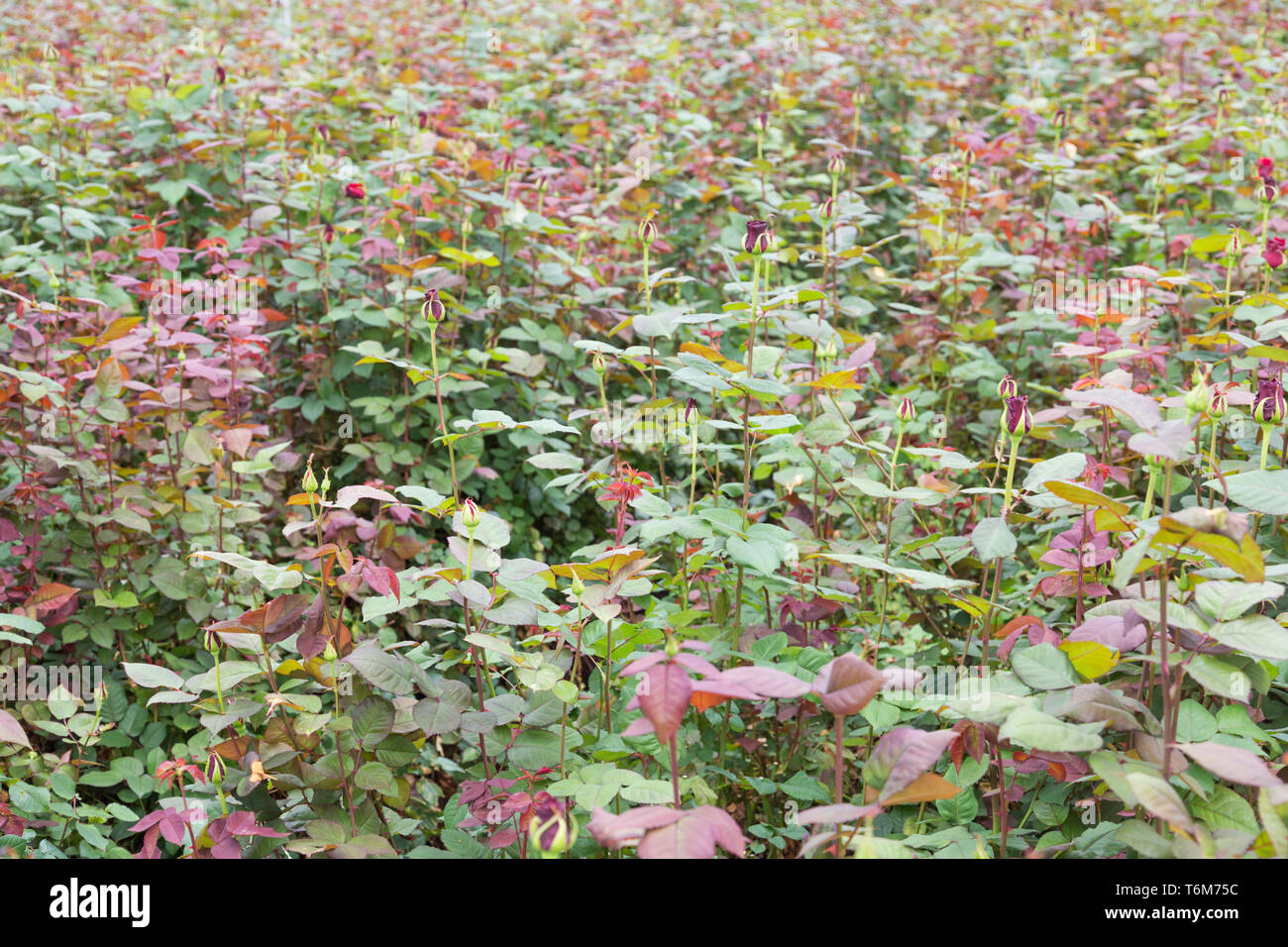 Rose cultivation in a Dutch greenhouse Stock Photo