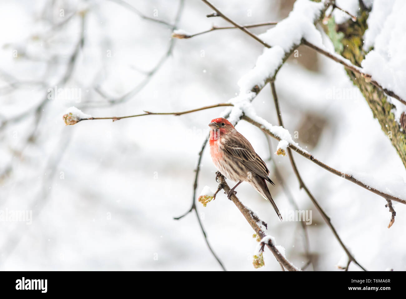 One male red house finch Haemorhous mexicanus bird perched on tree branch during winter spring snow in northern Virginia - Stock Image