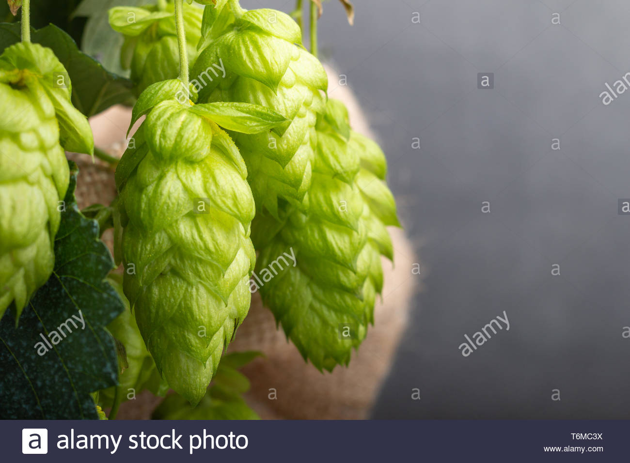 close up of beer hop in a bag - Stock Image