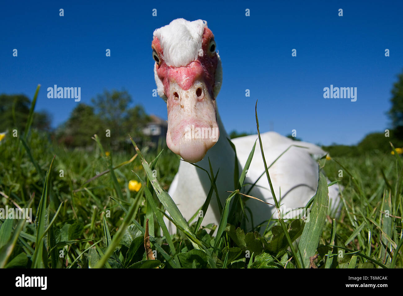 Muscovy Duck (Cairina moschata) peering into camera lens, Somerset, UK Stock Photo