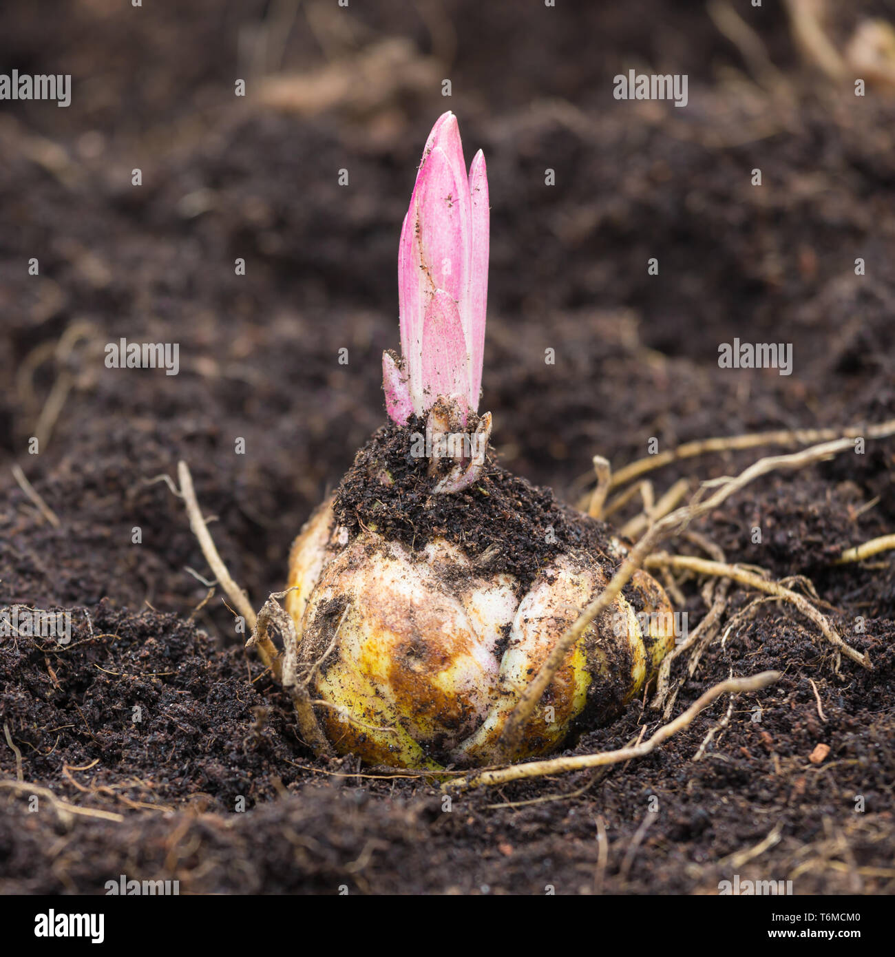 Sprouting Lily Stock Photos Sprouting Lily Stock Images Alamy