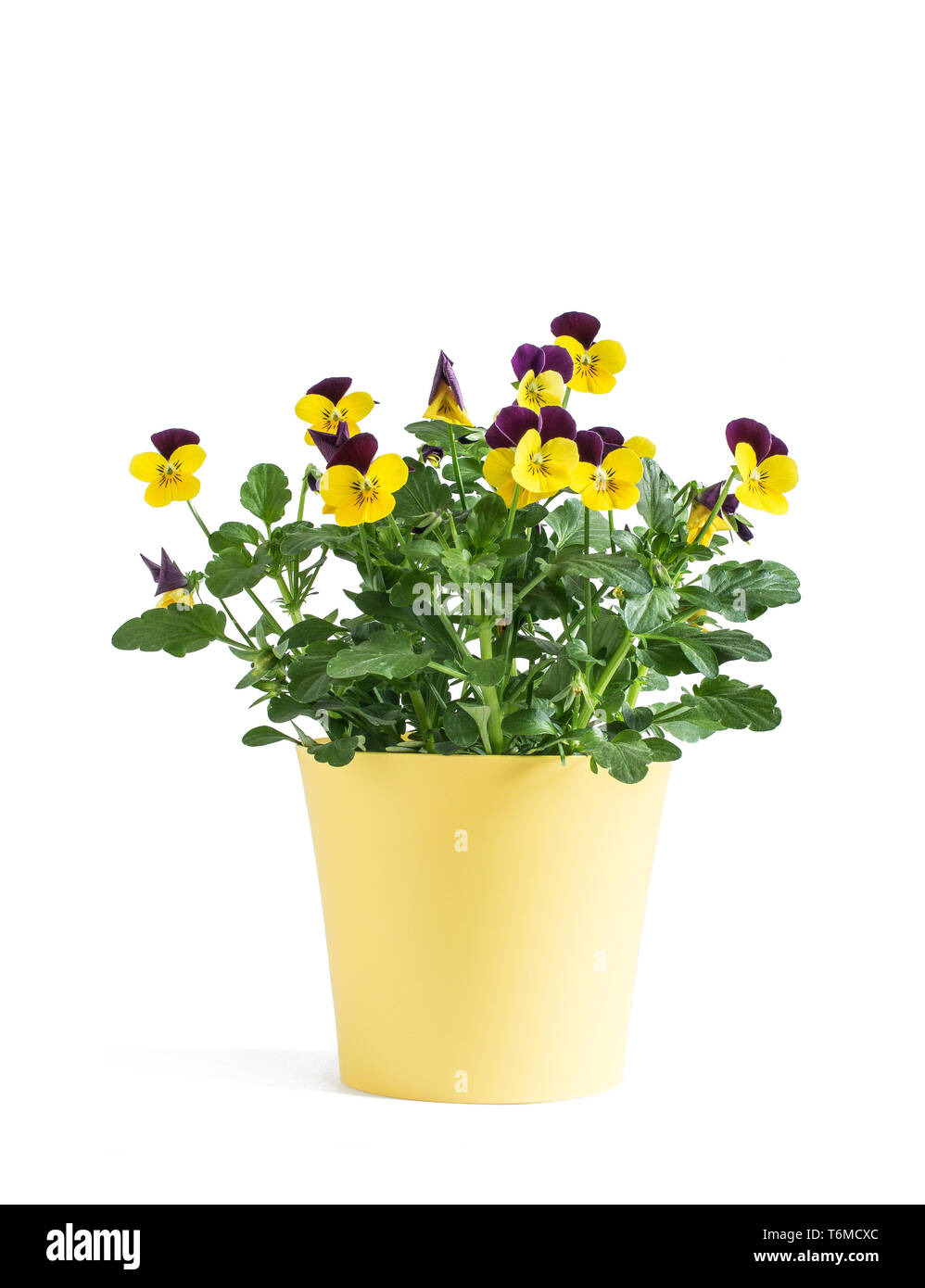 Heartsease flower in yellow vase isolated on white background Stock Photo