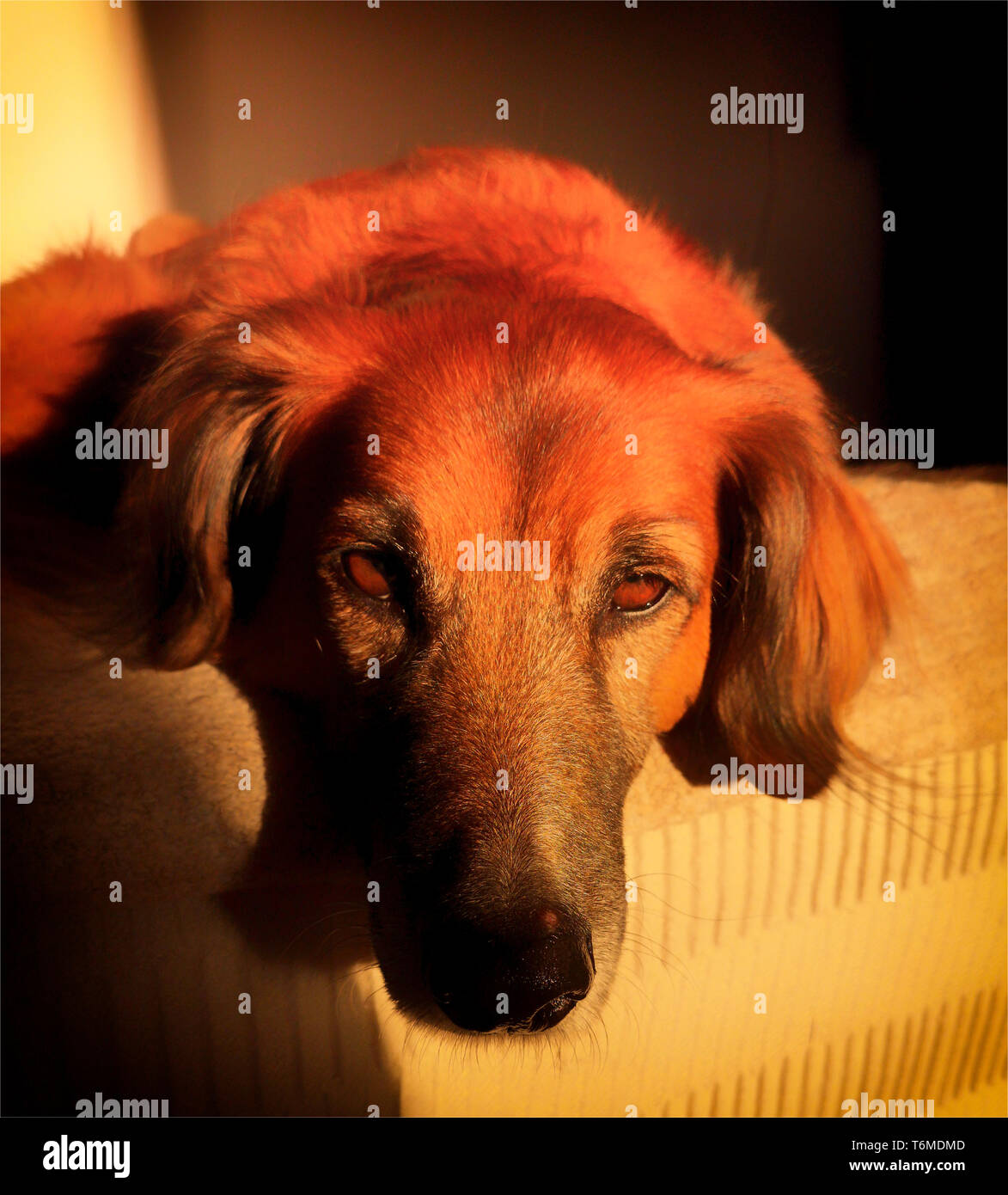 Lazy dog of indeterminate breed (Red Setter Cross) lying in the setting sun, Frigiliana, Costa del Sol, Andalucia, Spain Stock Photo