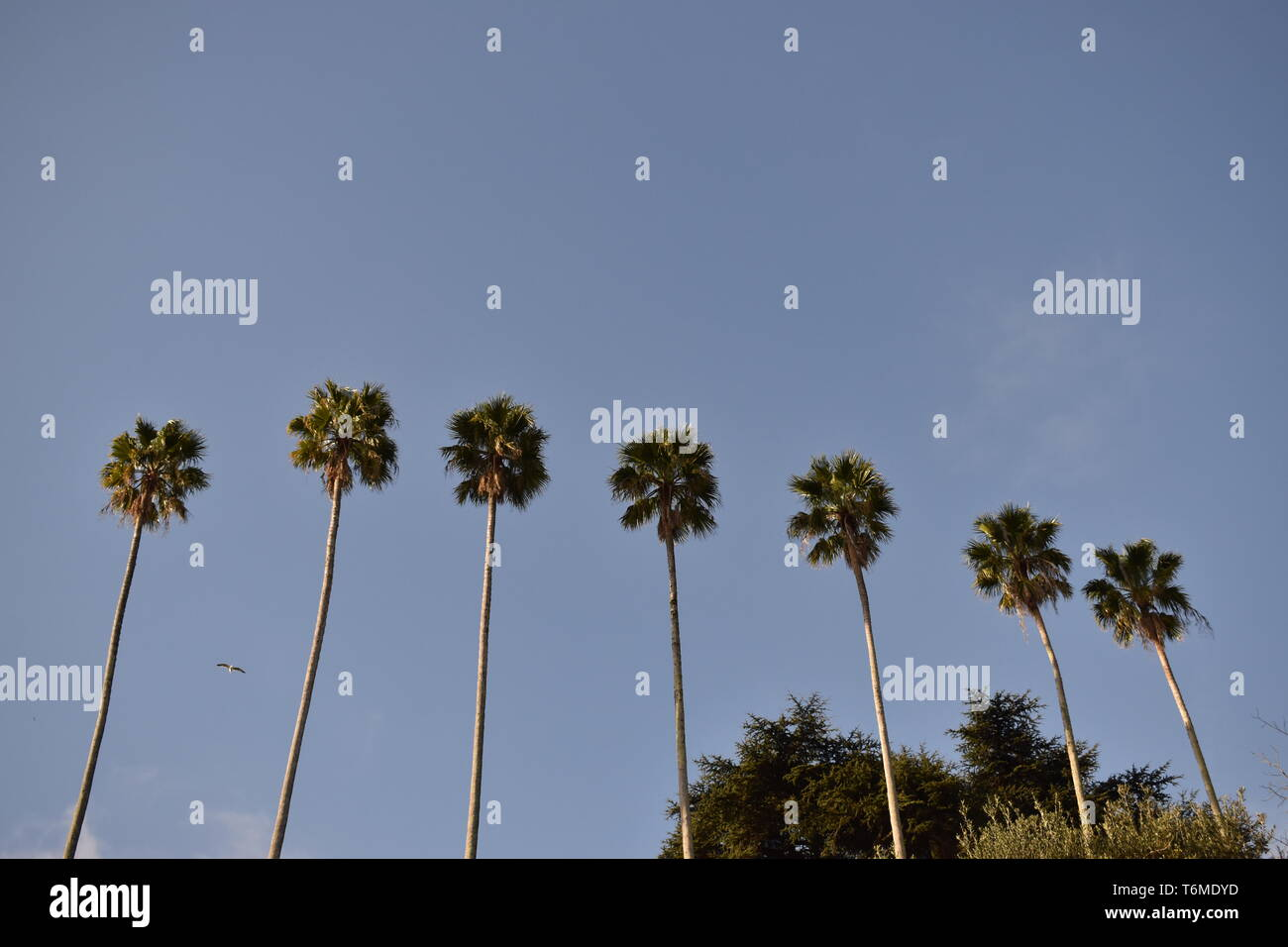 A sequence of palm trees seen from below. Stock Photo