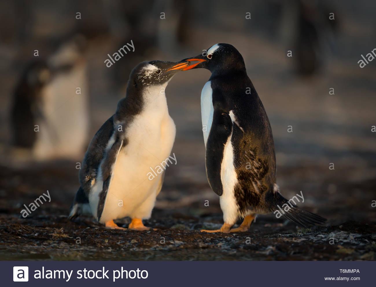 Gentoo penguin, Pygoscelis papua, South Georgia - Stock Image