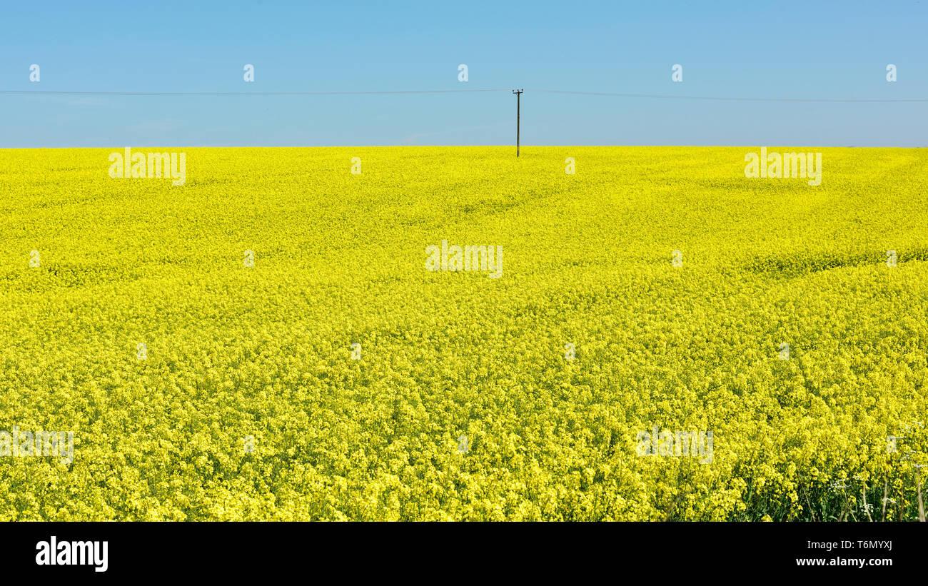Rapeseed field - Stock Image