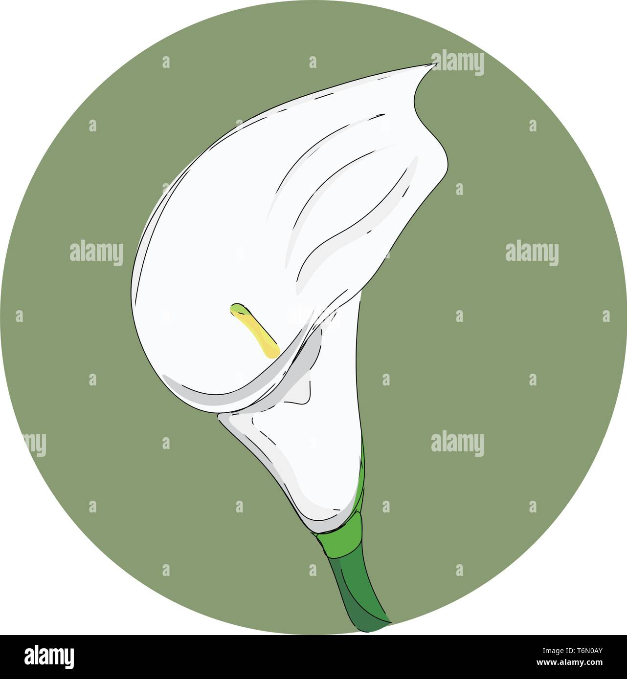 A beautiful picture of a single calla flower which is in white color vector color drawing or illustration - Stock Vector