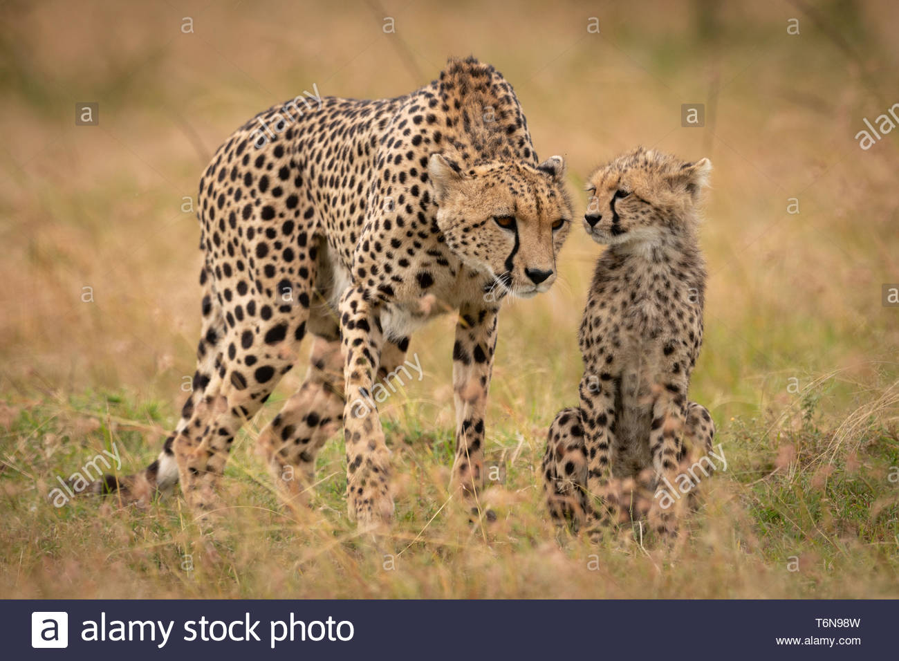 Cheetah appears to listen to whispering cub - Stock Image
