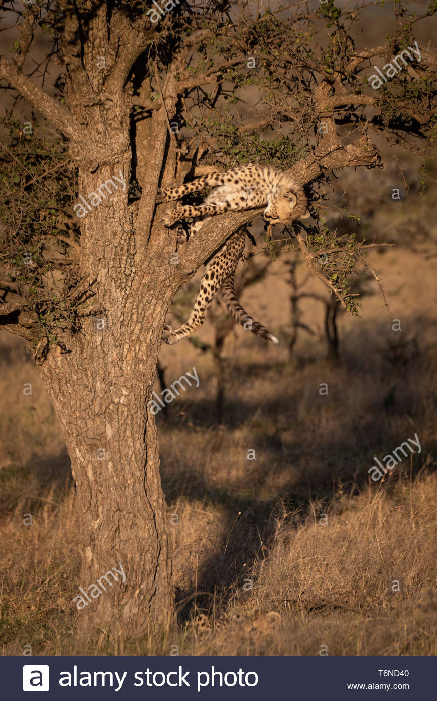 Cheetah cub leans over branch in tree - Stock Image