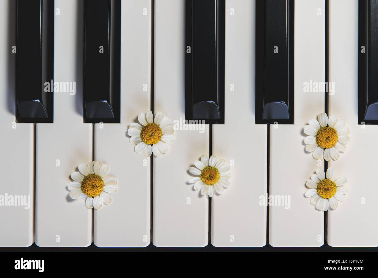 Piano Keyboard and Chamomile Flowers, Top View, Close Up - Stock Image
