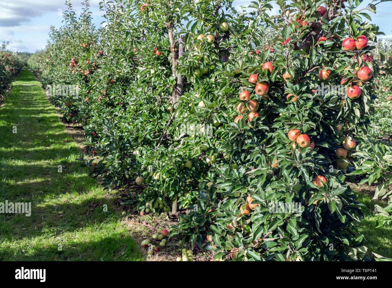 Dutch orchard with maturing apples - Stock Image