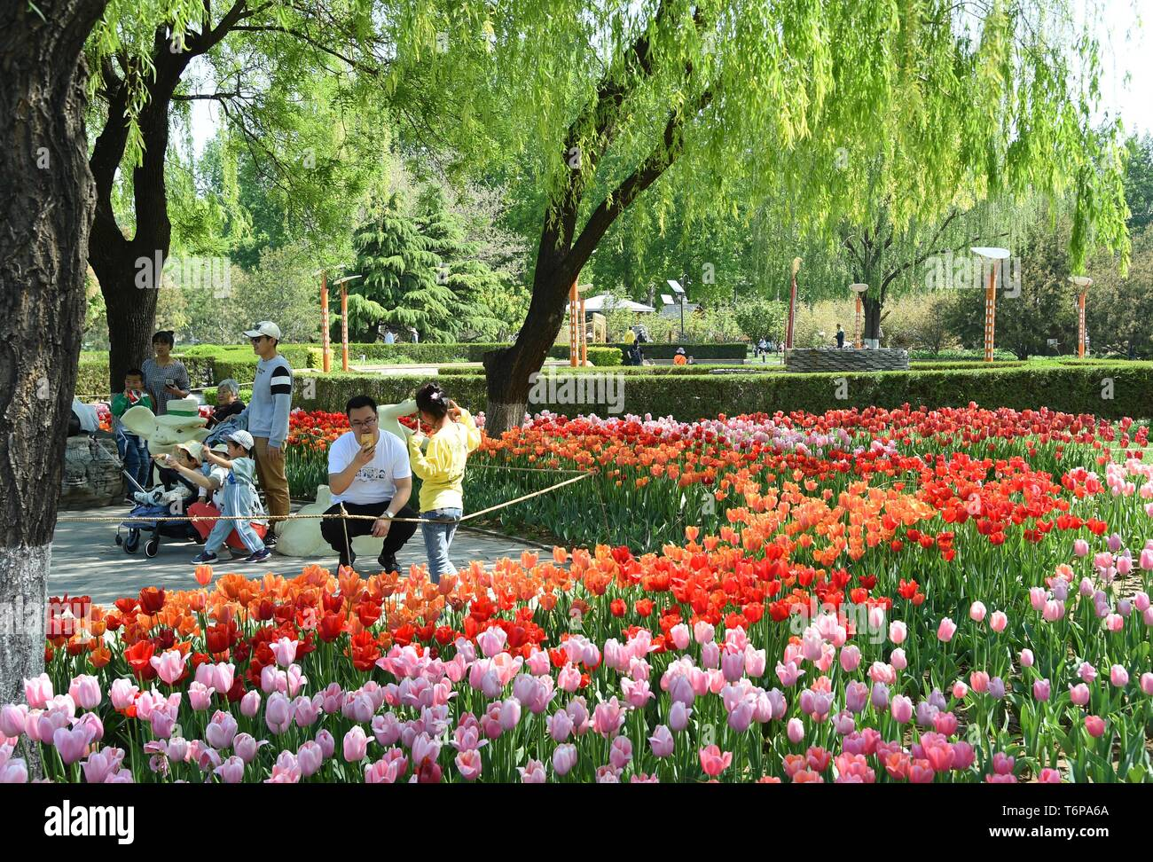 Beijing China 2nd May 2019 Visitors Have Fun Amid Tulip Flowers