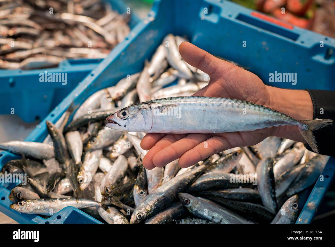Mackerel. Pineda de Mar. Barcelona. Catalunya. Spain - Stock Image