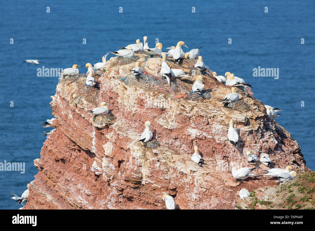 Northern gannets in breeding colony at cliffs of German Helgolan - Stock Image