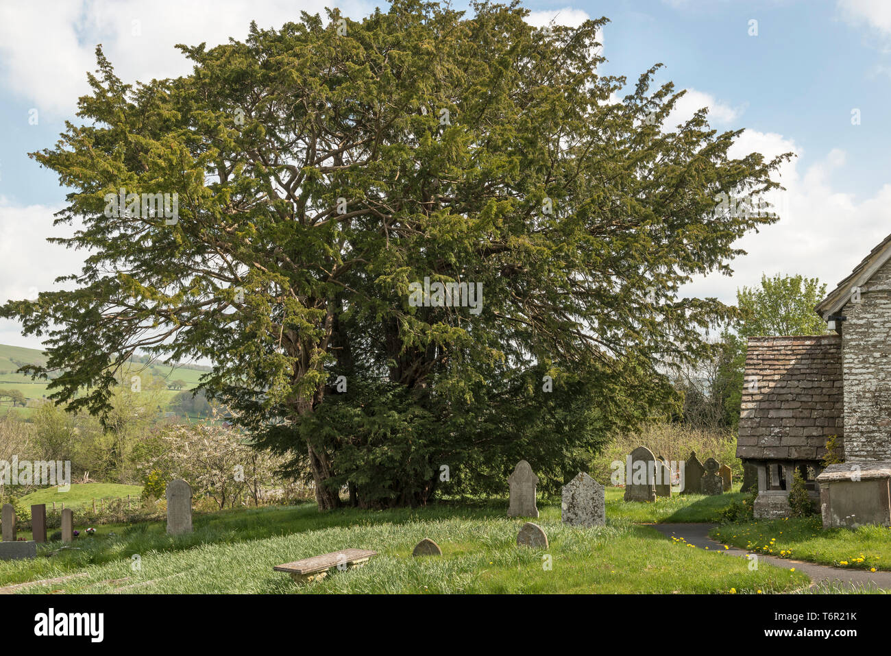 St Michael's Church, Discoed, Powys, Wales. A five thousand year old yew tree (taxus baccata) in the churchyard, one of the 5 oldest trees in  Britain - Stock Image