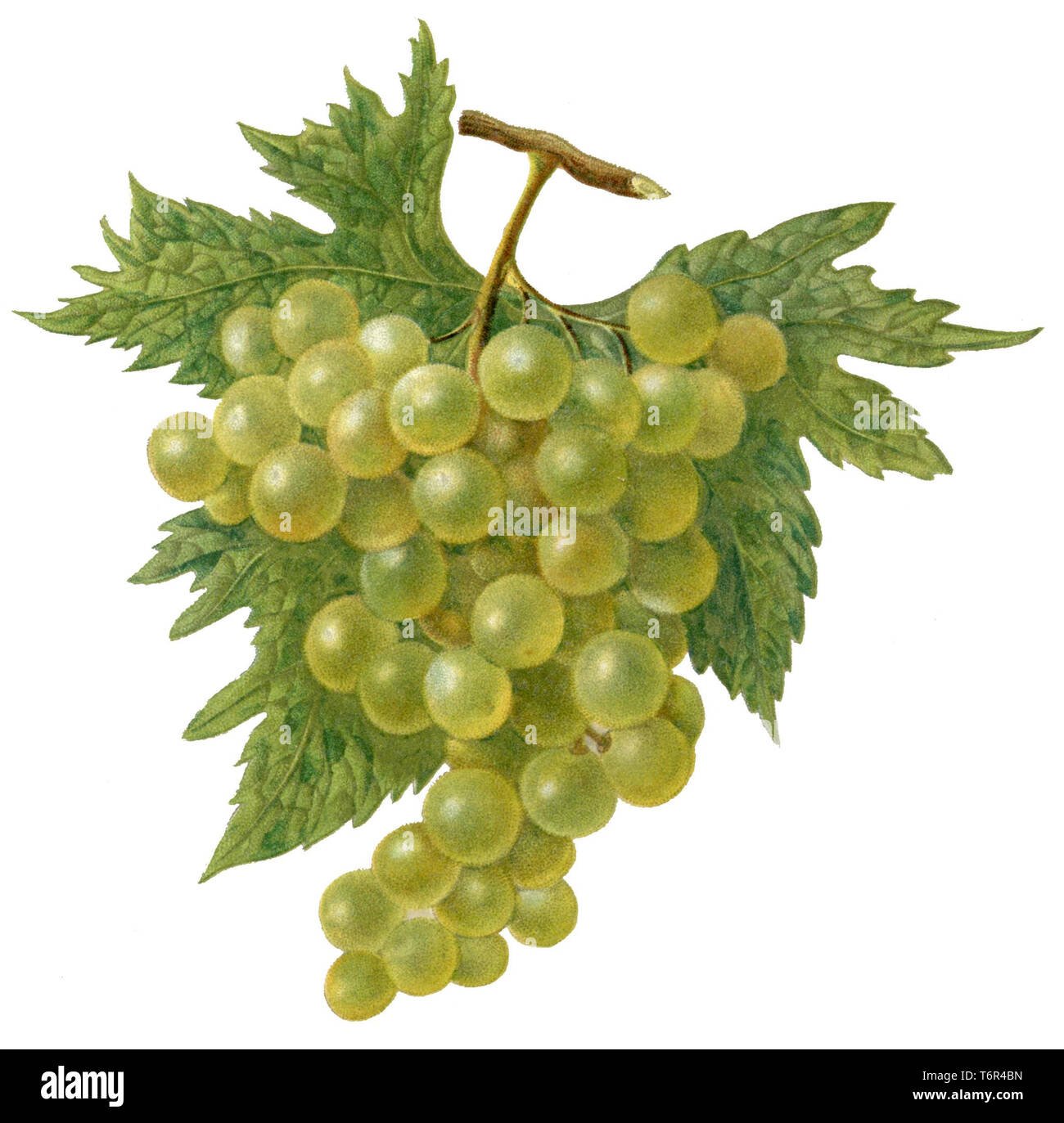 Grapevine  Grape with vine leaves, - Stock Image