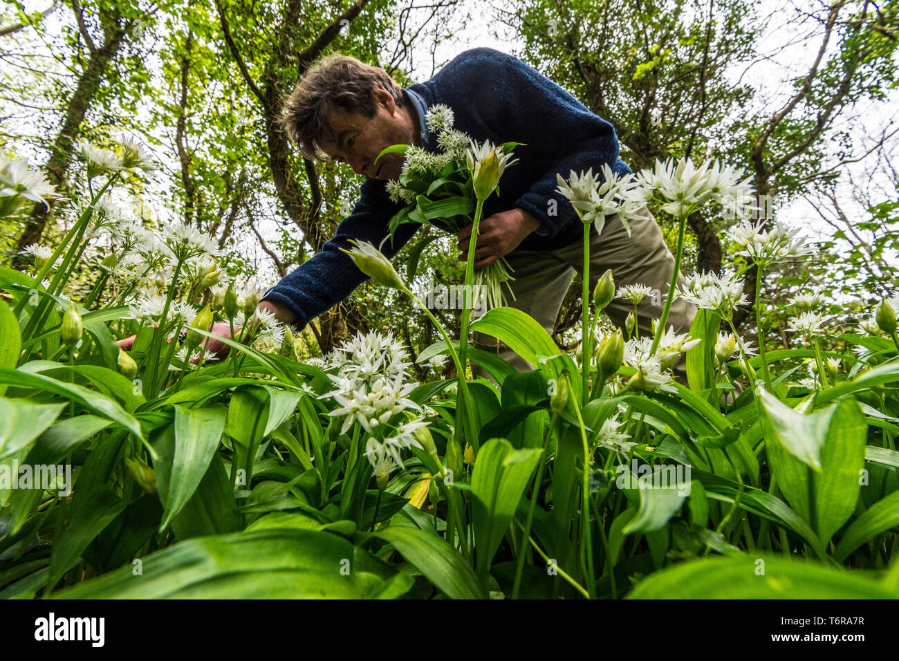 A man foraging for Allium ursinum, wild garlic, ramsons. It is a wild relative of onion, native to Europe and Asia, where it grows in moist woodland. - Stock Image