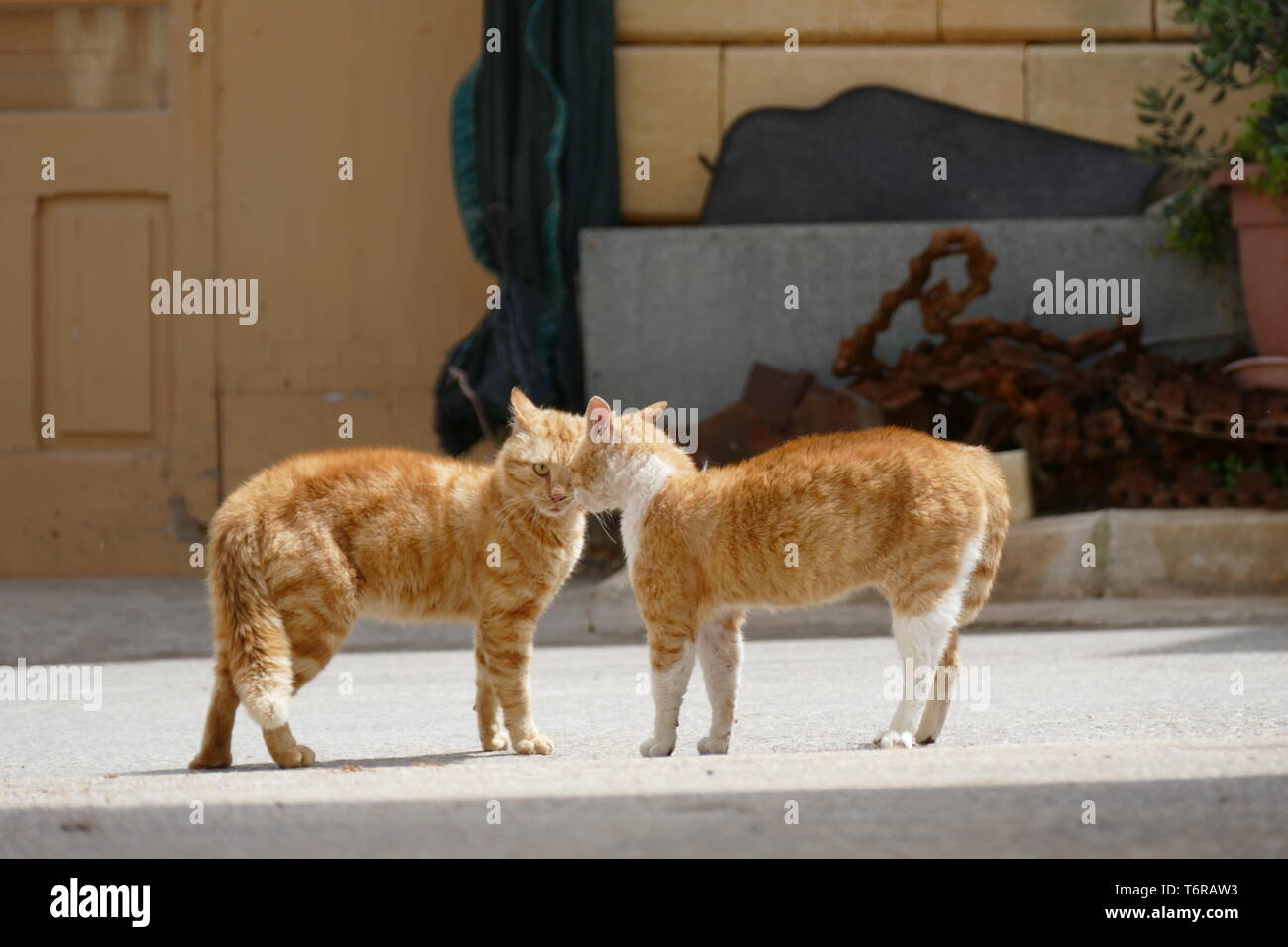 Two male cats face-off in a fight on the Mediterranean island of Gozo. Picture by Adam Alexander - Stock Image