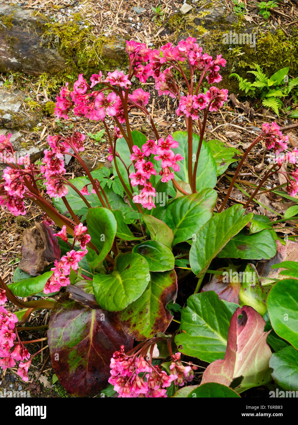 Leathery evergreen foliage and red-pink spring flowers of the hardy perennial, Bergenia 'Bressingham Salmon' Stock Photo