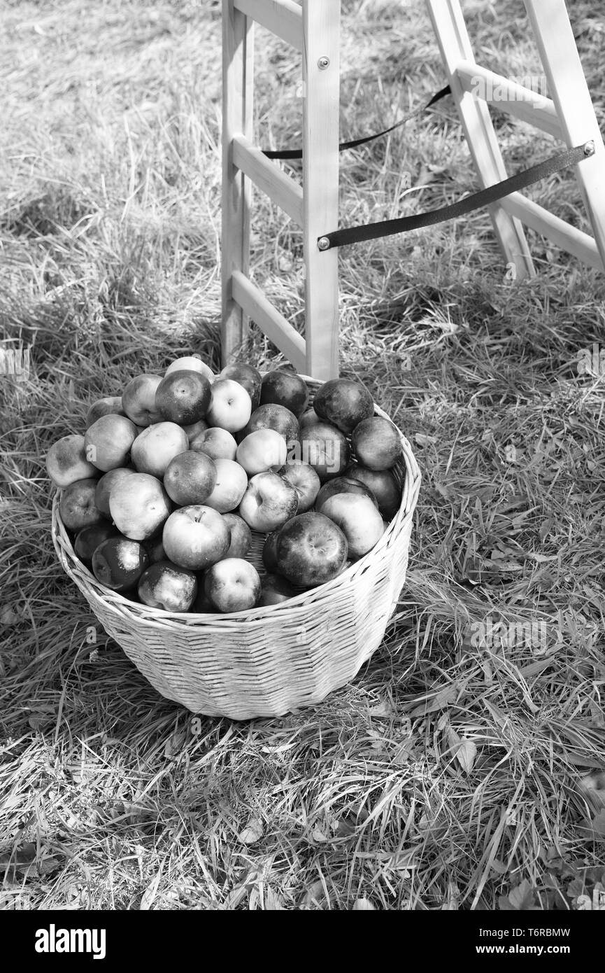 Apples red ripe fruits basket on grass near ladder. Apple harvest concept. Ripe organic fruits in garden. Autumn harvesting. Apples harvest and juice producing. Fall apples harvest in rustic basket. - Stock Image