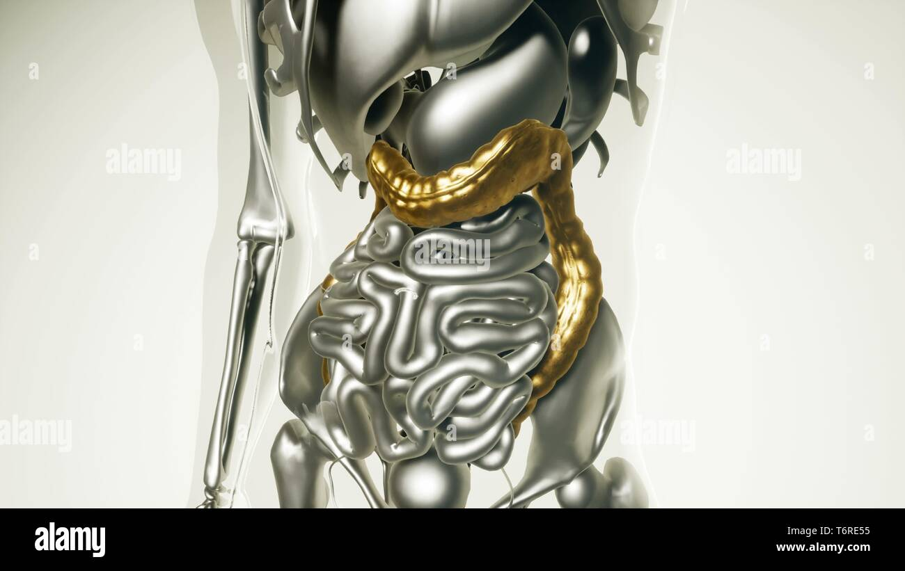 Human Colon Model with all Organs - Stock Image