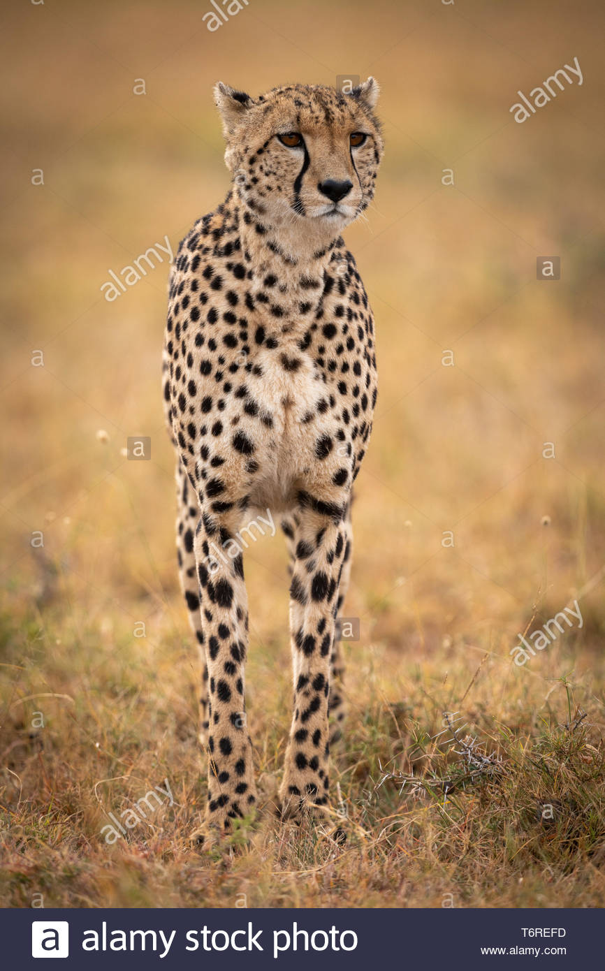 Cheetah stands in grassy plain looking ahead - Stock Image