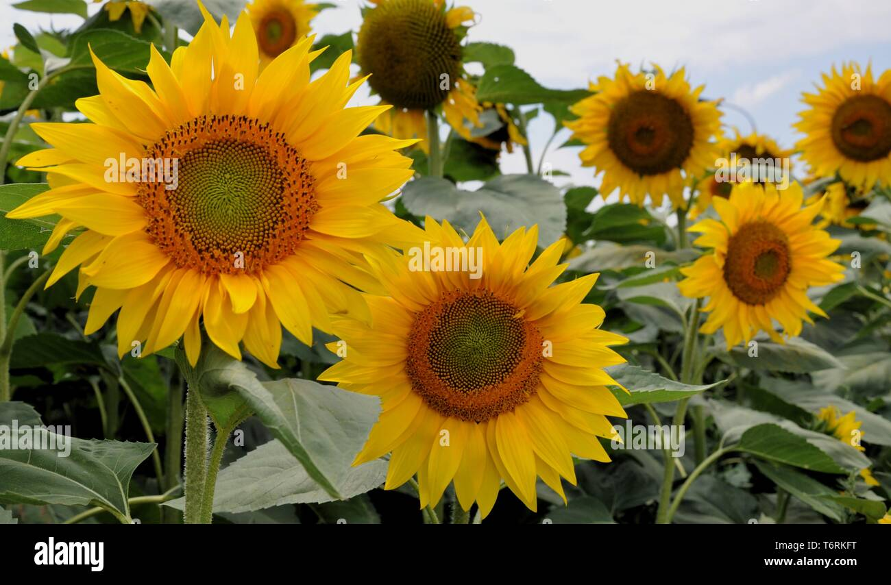 Closeup of Sunflowers in the Fields near Kazanlak, Bulgaria - Stock Image