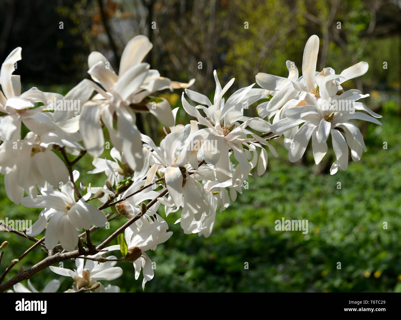 Magnolia kobus, known as mokryeon, kobus magnolia, or kobushi magnolia, species of Magnolia native to Japan and occasionally cultivated in temperate a - Stock Image