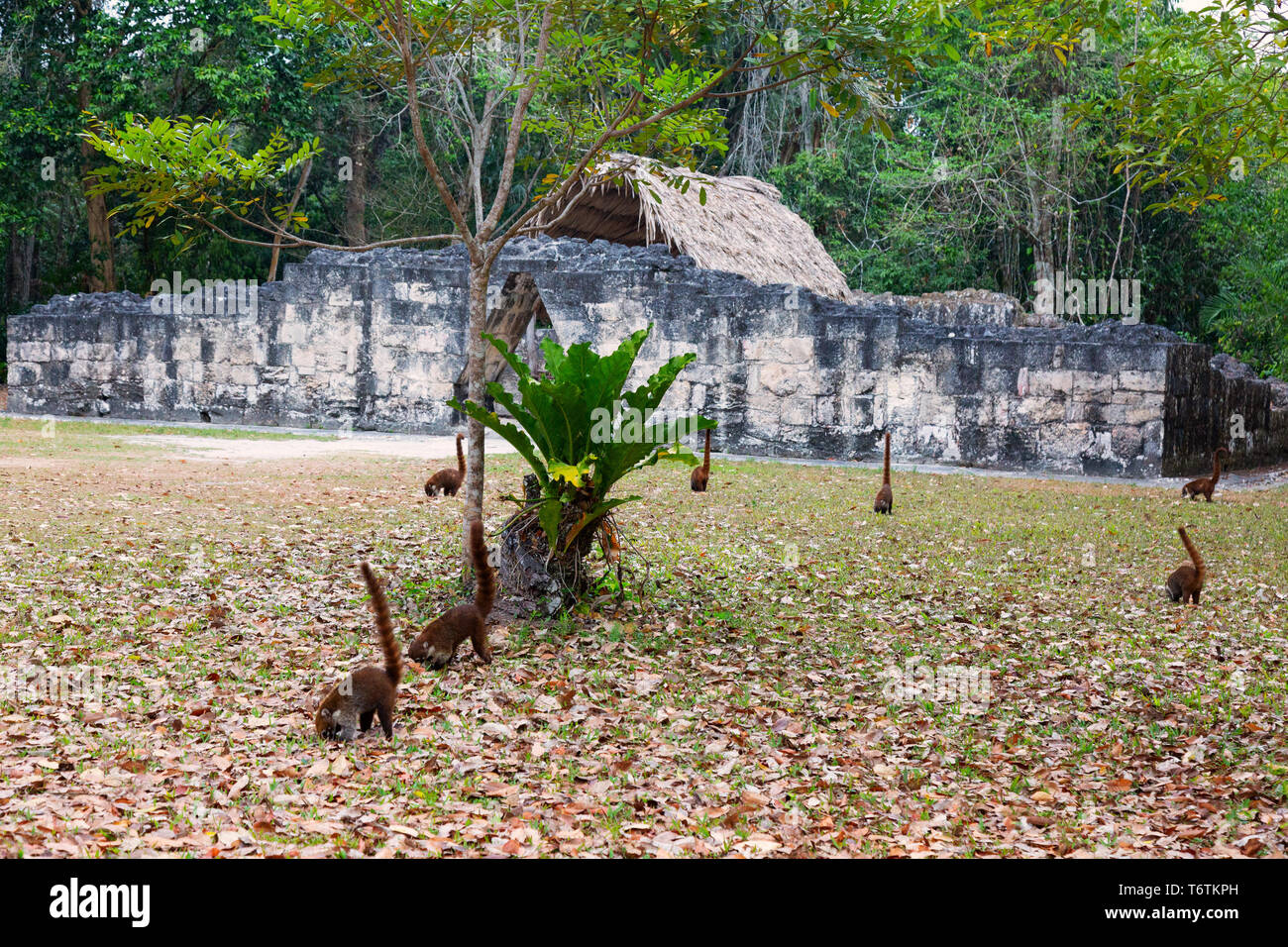 Tikal wildlife - several white nosed coatimundis ( Nasua narica ) foraging at sunrise, Tikal National Park, Tikal, Guatemala, Central America - Stock Image