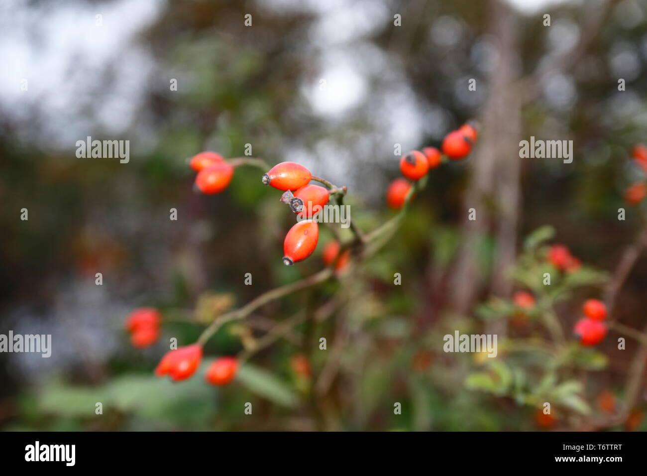 Hagebutte Frucht, am Busch, mit unscharfem Hintergrund, im Herbst - Stock Image