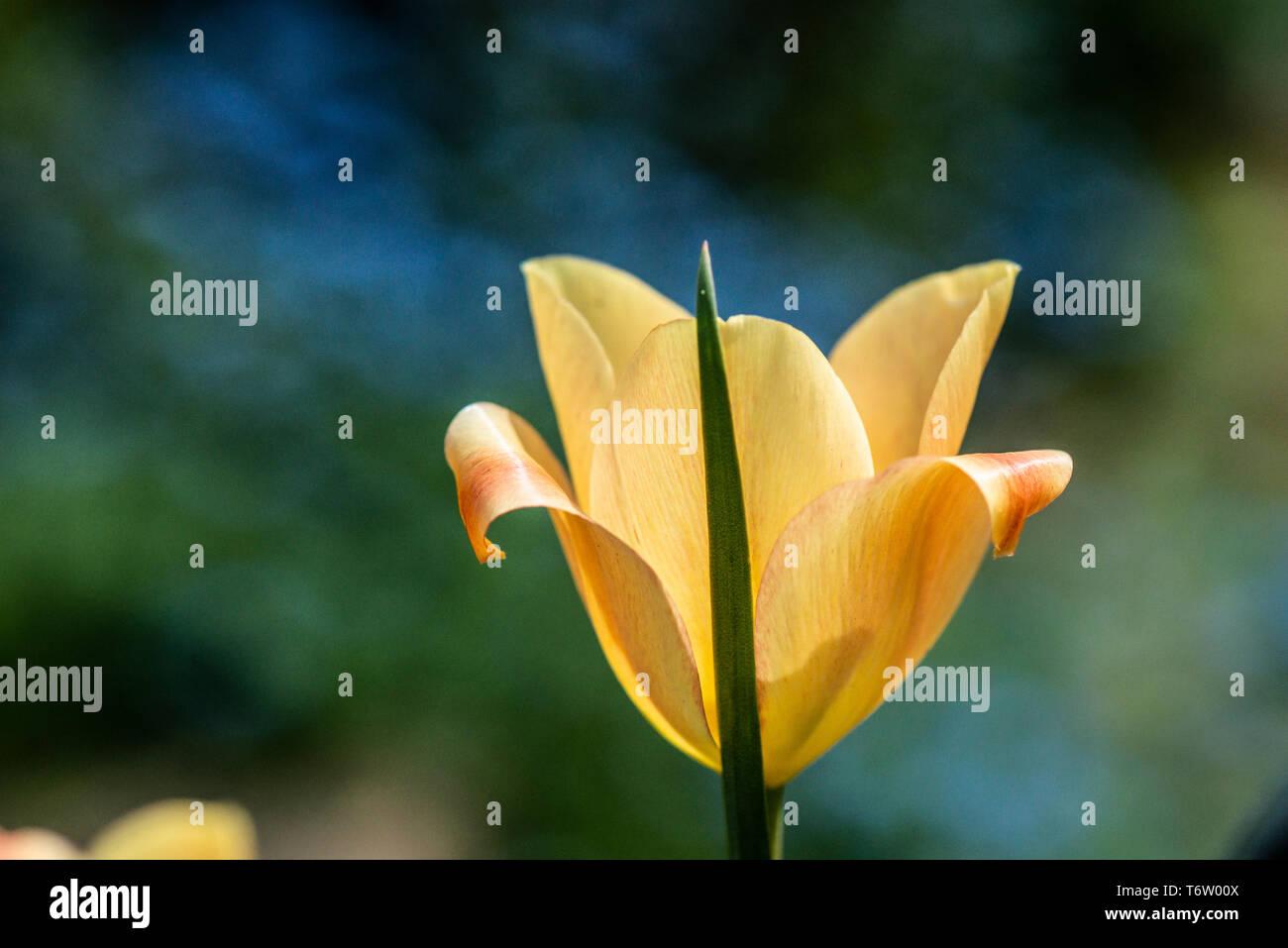 A yellow tulip flower Stock Photo