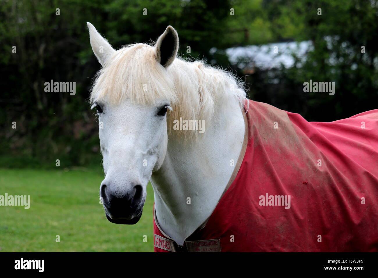 Horse Front Portrait. Horse; equus ferus caballus; subspecies equus ferus; equus ferus; - Stock Image