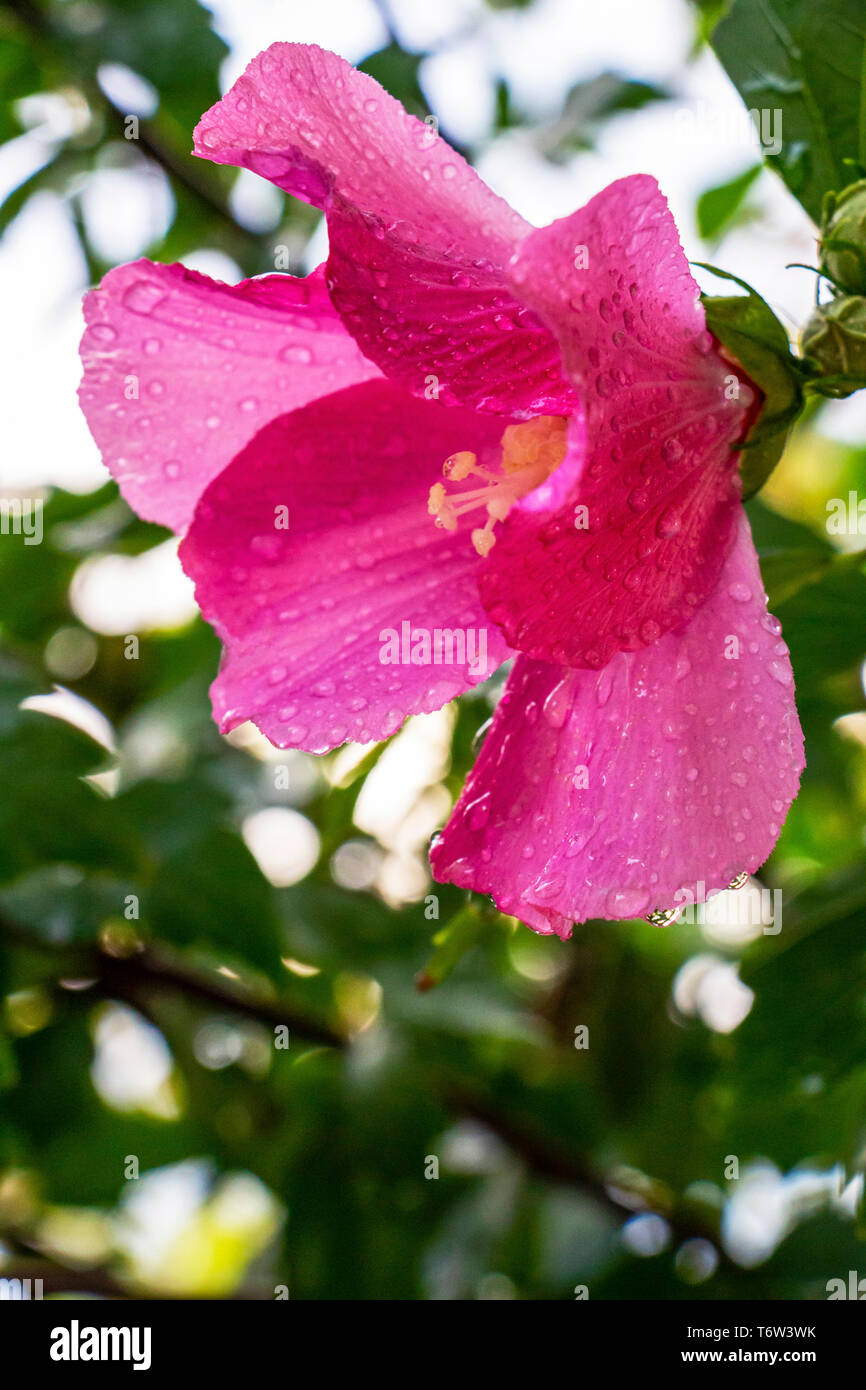 Hibiscus syriacus flower covered with raindrops on natural blurred green leaves background, selective focus Stock Photo