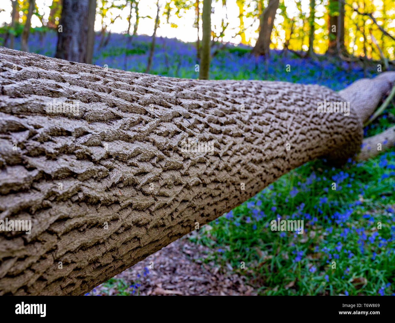 Fallen tree showing texture of bark, with low depth of field, in a bluebell wood in the spring.  England, UK. - Stock Image