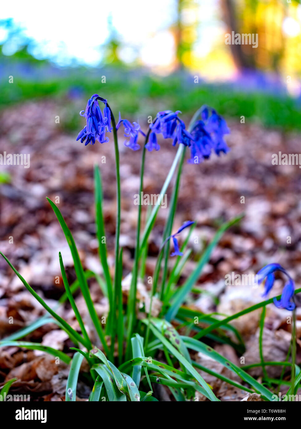Single Bluebell plant and flowers in a woodland setting, taken with very low depth of field. - Stock Image