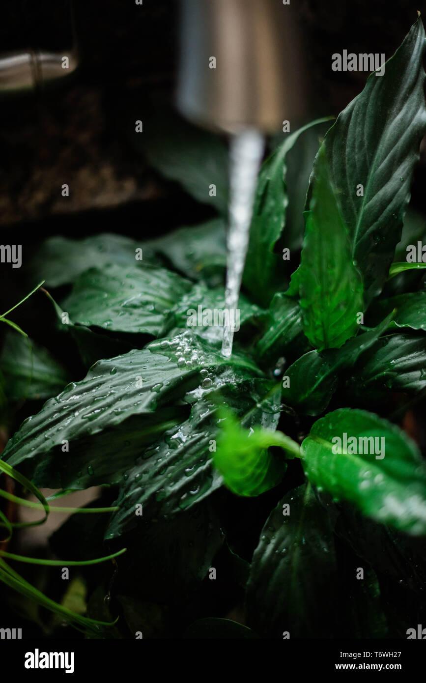 watering houseplants. - Stock Image