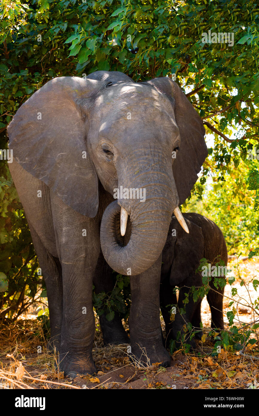 Elephant baby, Botswana safari wildlife - Stock Image